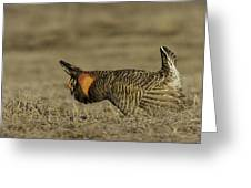Prairie Chicken-9 Greeting Card by Thomas Young