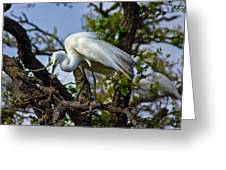 Preening Great Egret Greeting Card by Robert Carney