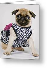 Pretty Party Pug Greeting Card by Bonnie Willis