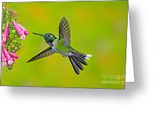 Purple-bibbed Whitetip Hummingbird Greeting Card by Anthony Mercieca