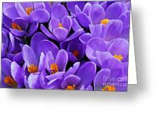 Purple Crocus Greeting Card by Elena Elisseeva