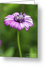 Purple Daisy Greeting Card by Pamela Gail Torres
