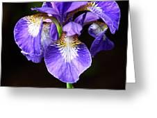 Purple Iris Greeting Card by Adam Romanowicz