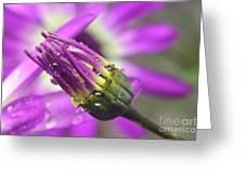 Purple Senetti II Greeting Card by Cate Schafer