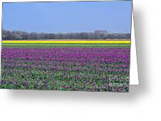 Purple With Golden Lining. Fields Of Tulips Series Greeting Card by Ausra Paulauskaite