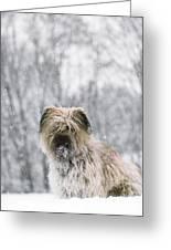 Pyrenean Shepherd Dog Greeting Card by Jean-Paul Ferrero