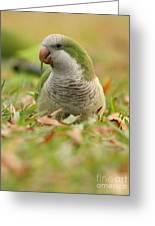 Quaker Parrot #3 Greeting Card by David Cutts