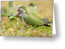 Quaker Parrot #4 Greeting Card by David Cutts