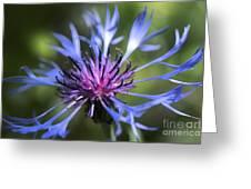 Radiant Flower Greeting Card by Belinda Greb