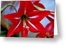 Red And White Lilly Greeting Card by Debra Forand
