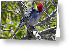 Red Crested Cardinal Greeting Card by Bob Phillips