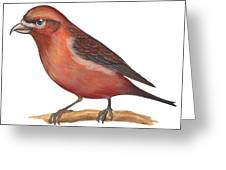 Red Crossbill Greeting Card by Anonymous