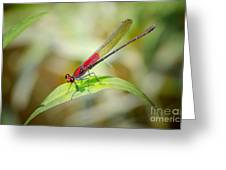 Red Damselfly Greeting Card by Peggy  Franz