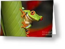 Red Eyed Leaf Frog Greeting Card by Bob Hislop