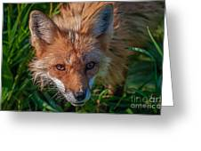 Red Fox Greeting Card by Bianca Nadeau