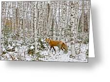 Red Fox In Birches Greeting Card by Jack Zievis
