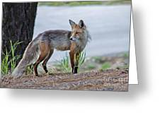 Red Fox Greeting Card by Robert Bales