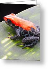 red frog Ranitomeya reticulata Greeting Card by Dirk Ercken