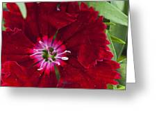Red Geranium 1 Greeting Card by Steve Purnell