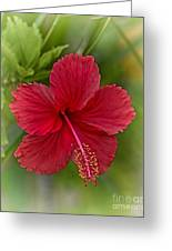 Red Hibiscus Greeting Card by Wendy Townrow