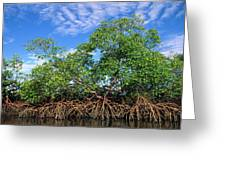 Red Mangrove East Coast Brazil Greeting Card by Pete Oxford