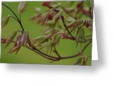 Red Maple Greeting Card by Kelly Hazel