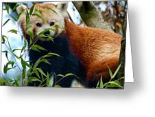 Red Panda Greeting Card by Trever Miller