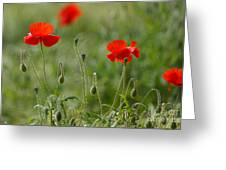 Red Poppies 2 Greeting Card by Carol Lynch