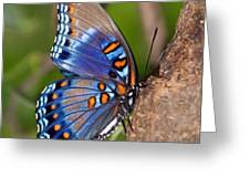 Red Spotted Purple Butterfly Greeting Card by Sandy Keeton
