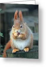 Red Squirrel With A Nut Greeting Card by Martyn Bennett