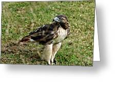 Red Tail Hawk Greeting Card by Christy Ricafrente