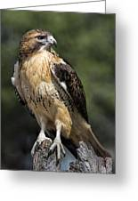 Red Tailed Hawk Greeting Card by Dale Kincaid
