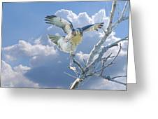 Red-tailed Hawk Pirouette Pose Greeting Card by Roy Williams