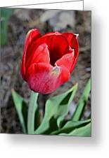 Red Tulip In Garden Greeting Card by Susan Leggett