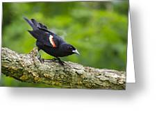 Red-winged Blackbird Greeting Card by Christina Rollo