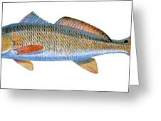 Redfish Greeting Card by Carey Chen