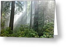 Redwood Forest With Sunbeams Greeting Card by Inga Spence