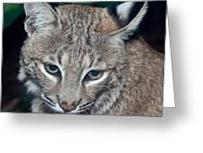 Reflective Bobcat Greeting Card by John Haldane