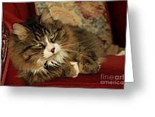 Rescue Cat Living In The Lap Of Luxury Greeting Card by Inspired Nature Photography Fine Art Photography