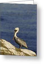 Resting Pelican Greeting Card by Sebastian Musial