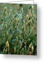 Ripening Oats Greeting Card by Shirley Sirois