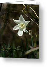 Roadside White Narcissus Greeting Card by Rebecca Sherman