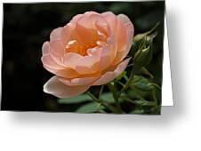 Rose Blush Greeting Card by Rona Black