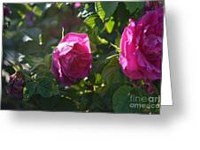 Roses At Sunrise Greeting Card by Alys Caviness-Gober