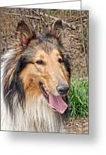 Rough Collie Greeting Card by Kenny Francis