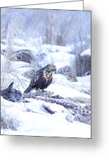 Rough Legged Hawk On Deer Carcass Greeting Card by Gregory K Scott