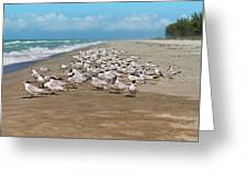 Royal Terns On The Beach Greeting Card by Kim Hojnacki