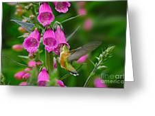 Rufous Hummingbird Greeting Card by Thomas and Pat Leeson