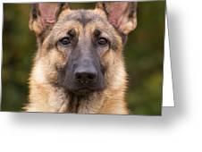 Sable German Shepherd Dog Greeting Card by Sandy Keeton