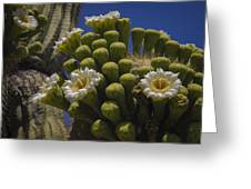 Saguaro Cactus Flowers Greeting Card by Penny Lisowski